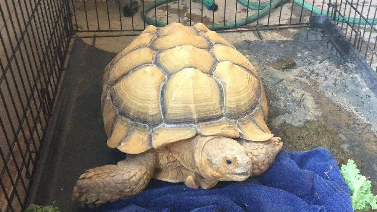 The Gilbert Police Department said on Friday that the runaway tortoise has reunited with his owner. (Source: GIlbert Police Department)