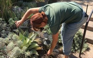 Tracey Rhodes, a horticulturist at Phoenix Desert Botanical Gardens, spreads a net over a yellowing whale's tongue cactus.(Source: Chris Benincaso/Cronkite News)