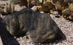 Cactuses are covered with black nets to protect them from tissue damage because of the blazing summer sun, McMahon said. (Source: Chris Benincaso/Cronkite News)