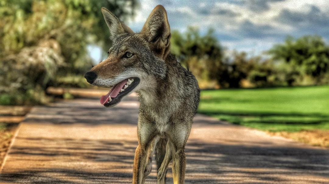 While playing at Talking Stick Golf Club, a coyote walked right up to a group of golfers. (Source: Ryan Taplin)
