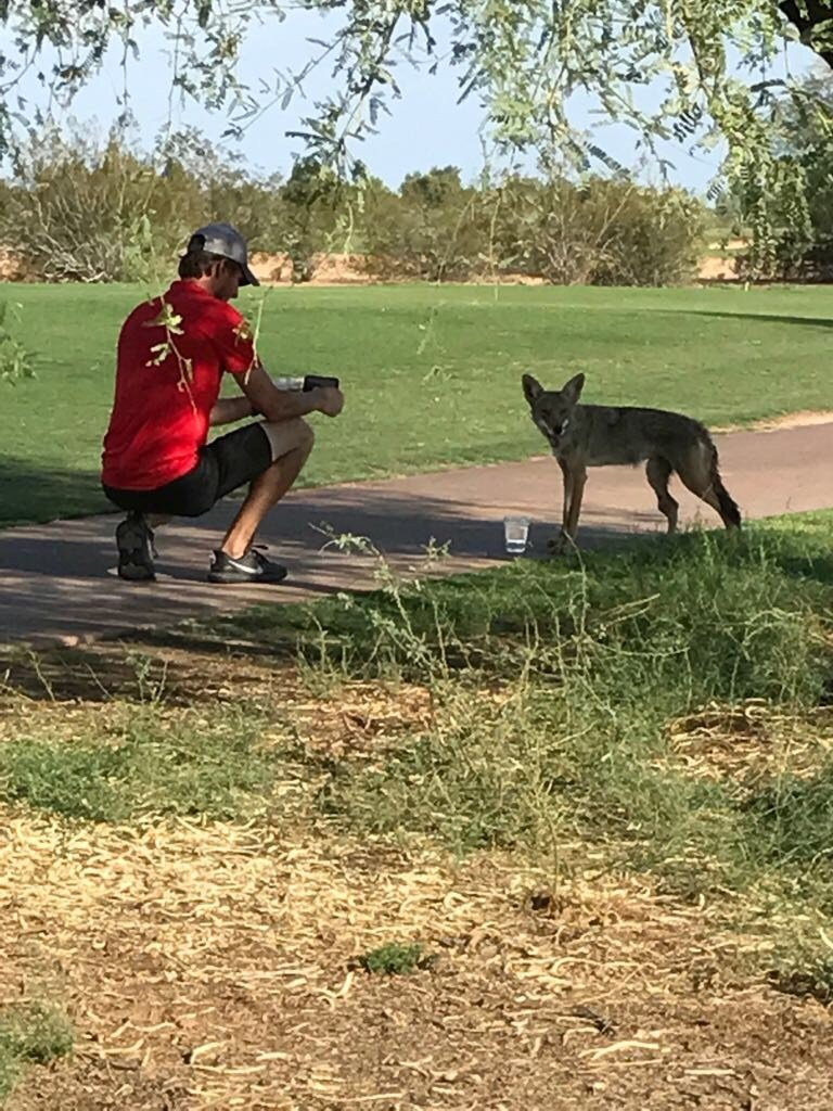 The Arizona Game and Fish Department says the coyote is likely used to people feeding it and has lost its fear of humans. (Source: Ryan Taplin)