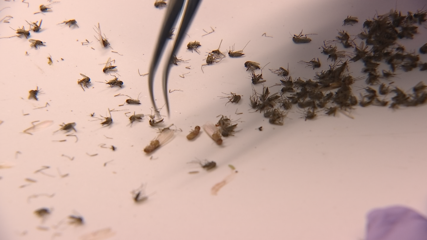 Each day, vector control specialists count, separate by species and test the mosquitoes they collect from around the Valley. (Source: 3TV/CBS 5)