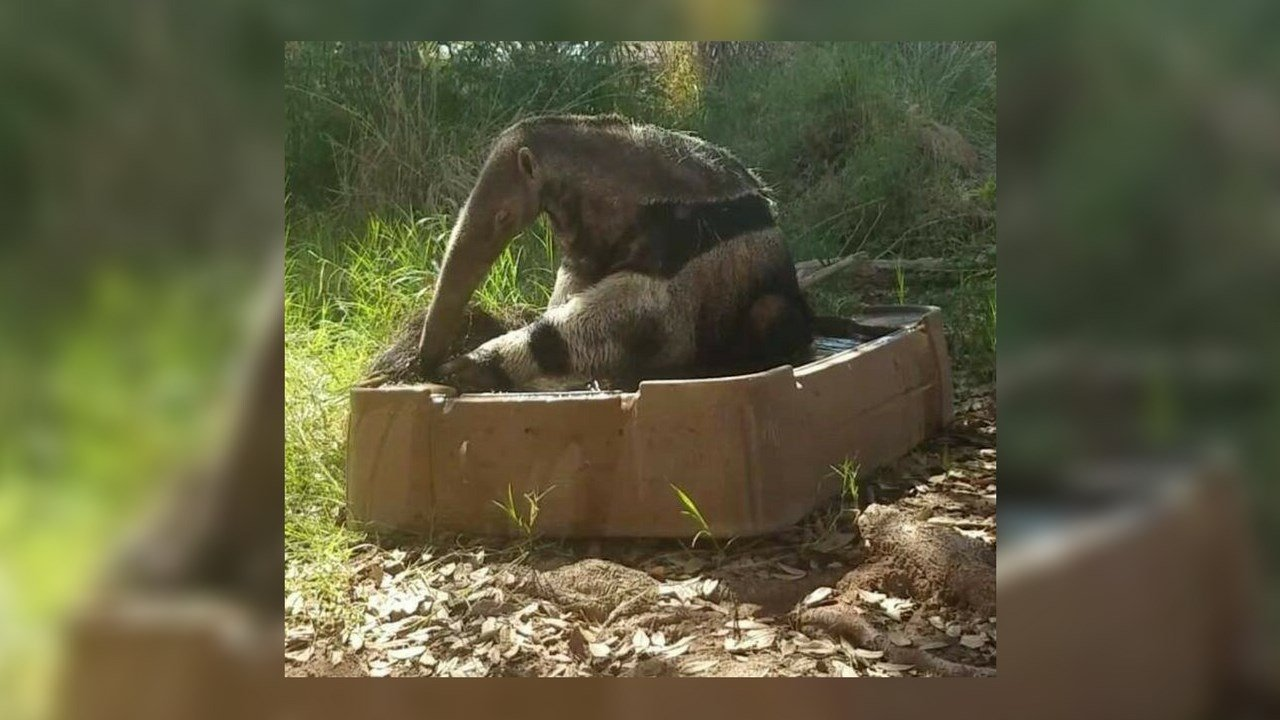 Ebenezer the anteater died on Tuesday at 28 years old. (Source: Phoenix Zoo)