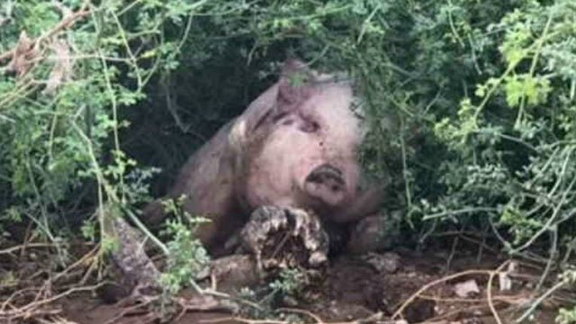 A 3-month-old piglet was swept away after a monsoon storm in Apache Junction. (Source: 3TV/CBS 5)