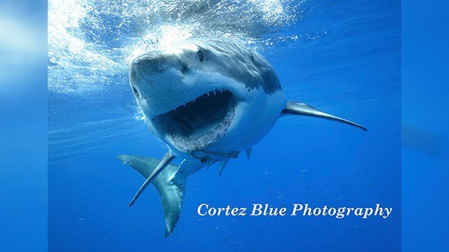 Phil Bonds came face-to-face with a great white shark and took this amazing photo. (Source: Cortez Blue Photography)
