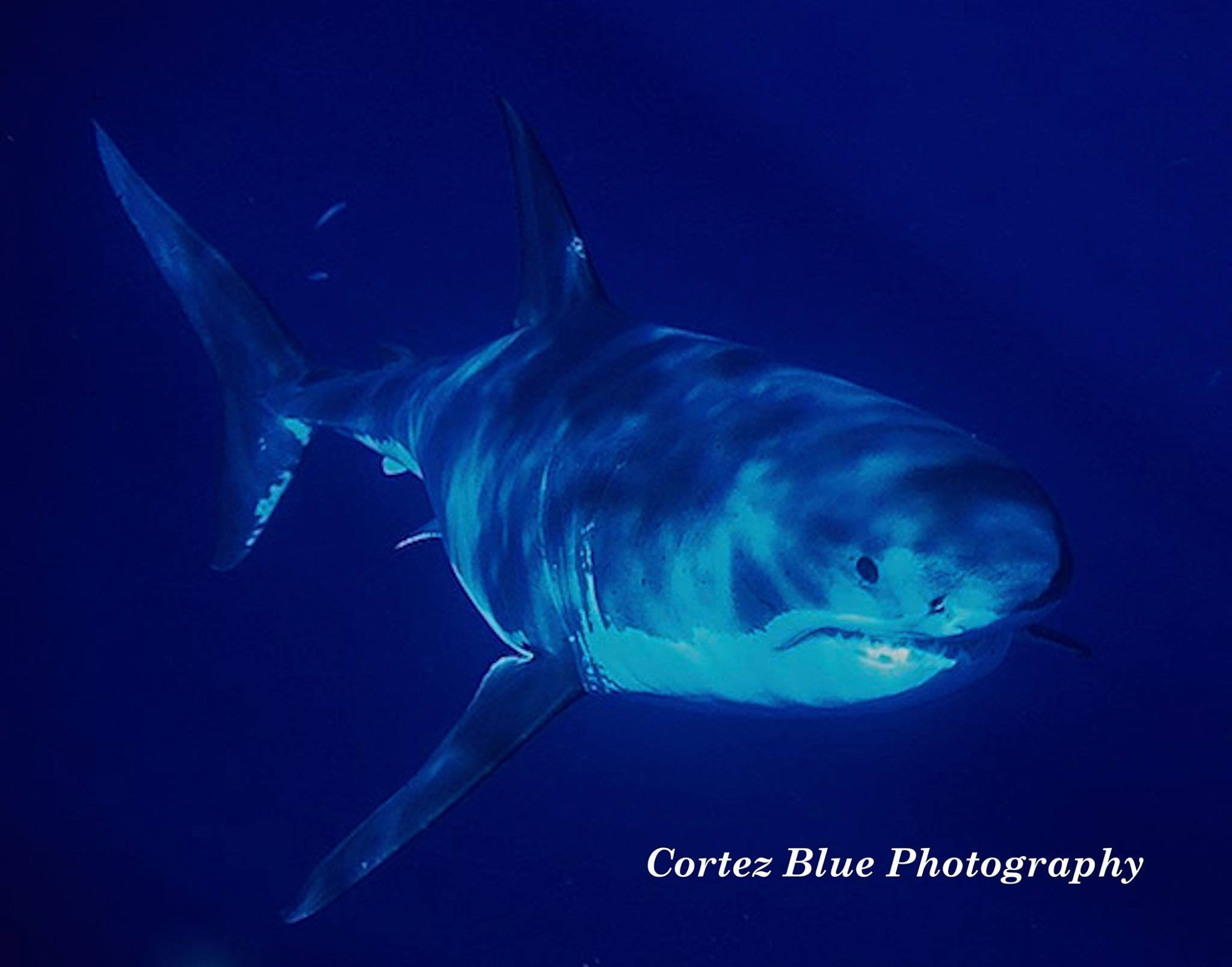Bonds was diving off Guadalupe Island last year and was surrounded by great white sharks. (Source: Cortez Blue Photography)