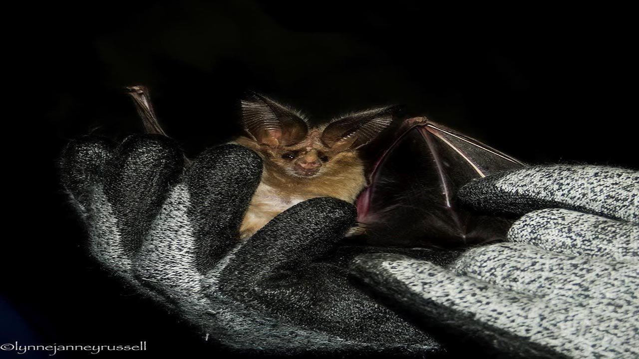 The white-nose syndrome has killed more than 5.7 million bats in eastern North America. (Source: Lynne Russell)