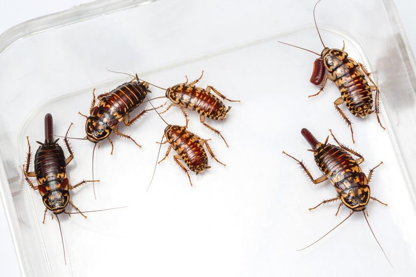 Cockroaches in the kitchen are usually a clear sign that you may want to go out to eat someplace else. (Source: Mr.Smith Chetanachan via 123RF)