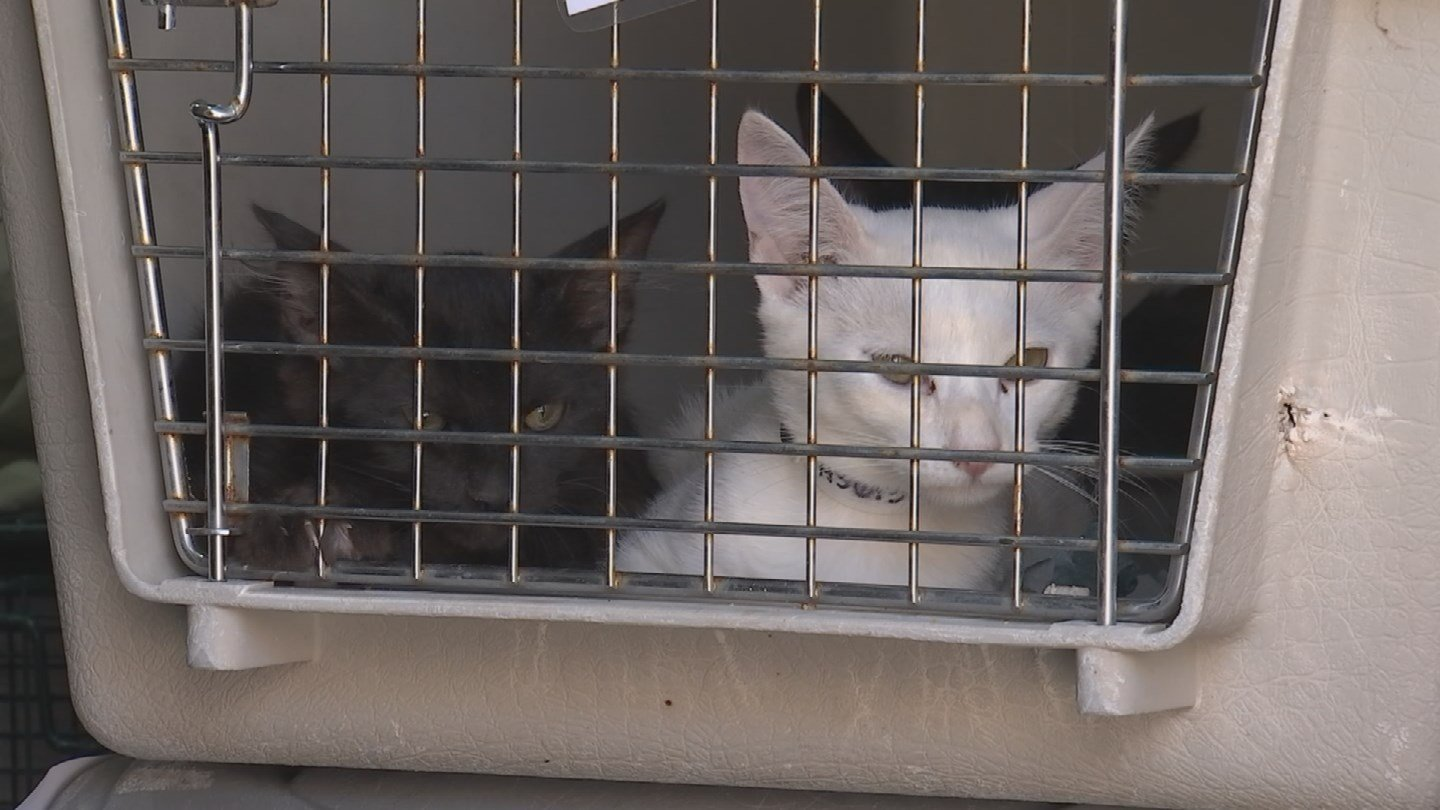 AHS partnered with the SPCA of Texas to send 50 cats to Dallas where there aren't enough kittens for adopters there.(Source: 3TV/CBS 5)