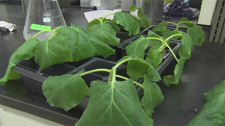 Their latest effort: genetically reprogramming the plants to produce a vaccine for Zika. (Source: 3TV/CBS 5)