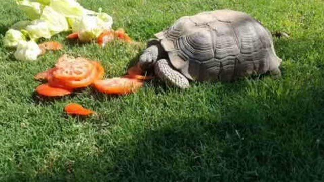 "Like the magician, ""Houdini"" the Desert tortoise has pulled off a disappearing act. (Source: 3TV/CBS 5)"