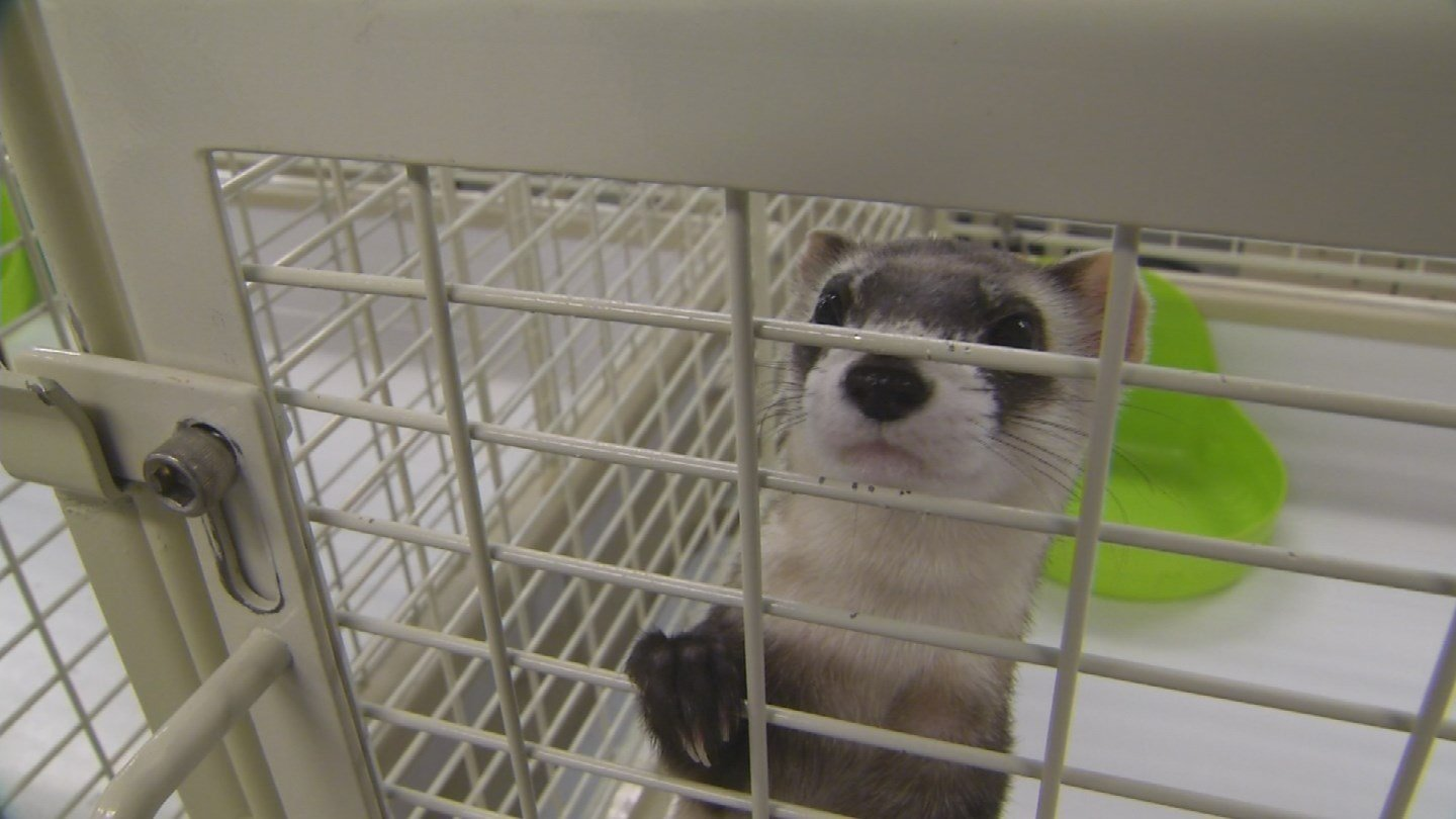 The Game and Fish Department is seeking volunteers to help document the population of endangered black-footed ferrets in northwestern Arizona. (Source: 3TV/CBS 5)