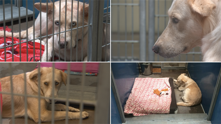 The four Shepherd mixes were in the custody of MCACC under a bite quarantine after the attack. (Source: 3TV/CBS 5)