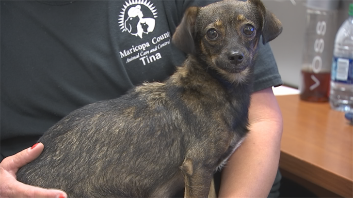 The dog is a few years old and is a Chihuahua mix. (Source: 3TV/CBS 5)