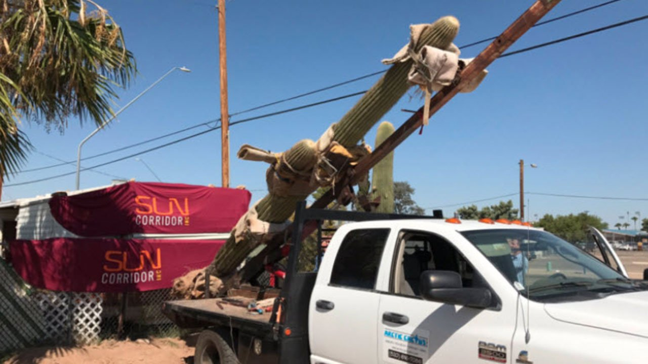 A large saguaro cactus is loaded onto a truck in Tucson, Ariz., on Wednesday, destined for Seattle. (Sun Corridor Inc. Photo)