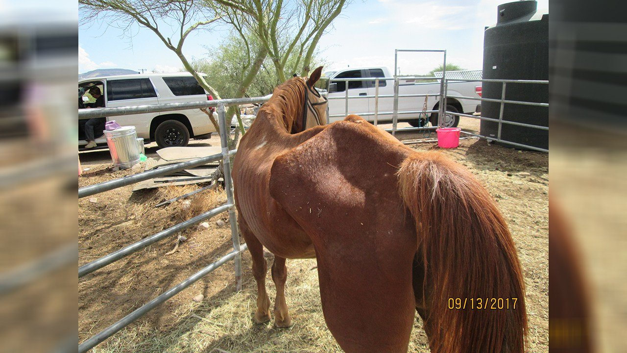 Three horses were seized from a woman in New River because the horses were malnourished. (Source: Maricopa County Sheriff's Office)