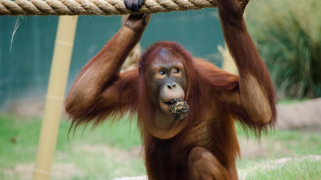 Kasih passes away at the young age of 11-years-old. (Source: Phoenix Zoo)