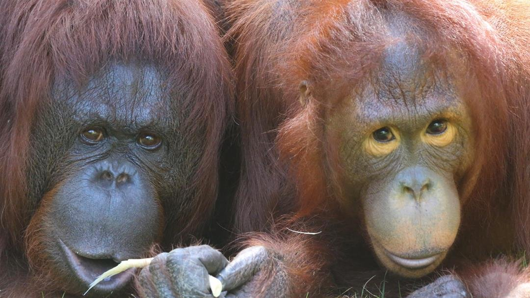 Kasih and her mother Bess at the Phoenix Zoo. (Source: Phoenix Zoo)