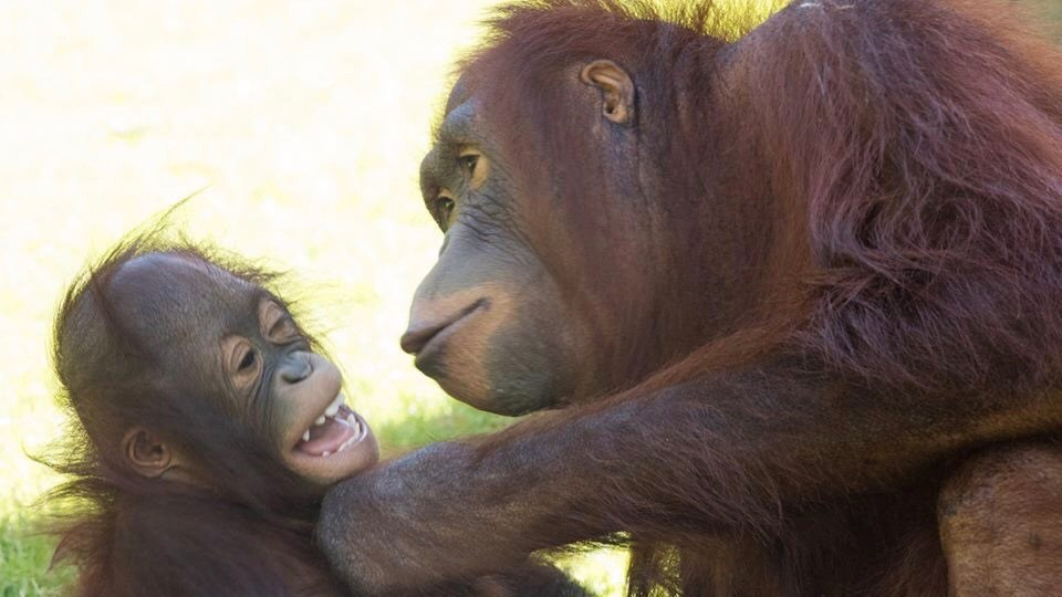 Kasih and her companion Jiwa playing at the Phoenix Zoo. (Source: Phoenix Zoo)