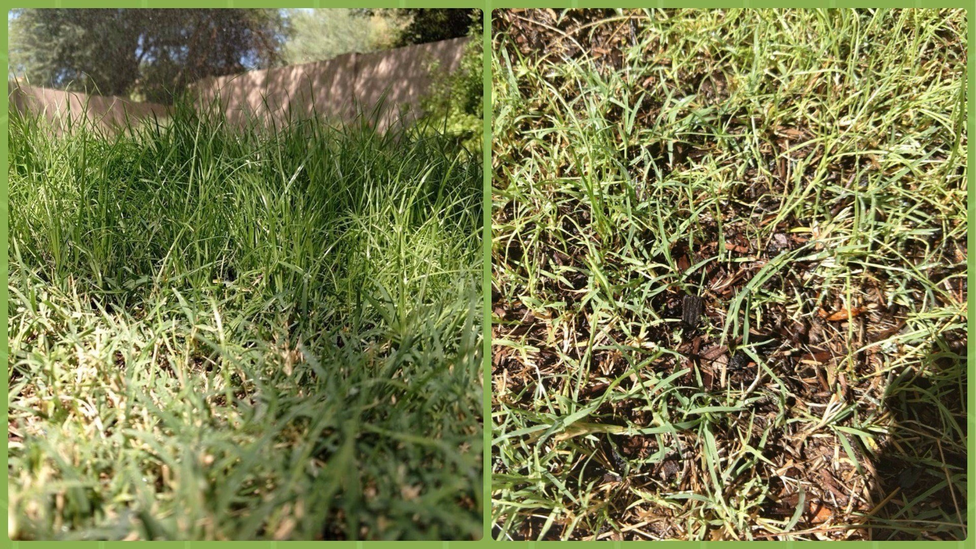 Left: Some of the rye is doing great! Right: What happened here? No rye; just Bermuda.