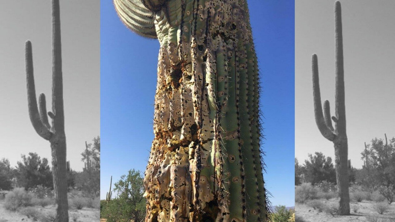 This saguaro cactus in the Saguaro National Park was shot multiple times by a vandal. (Source: U.S. National Park Service)