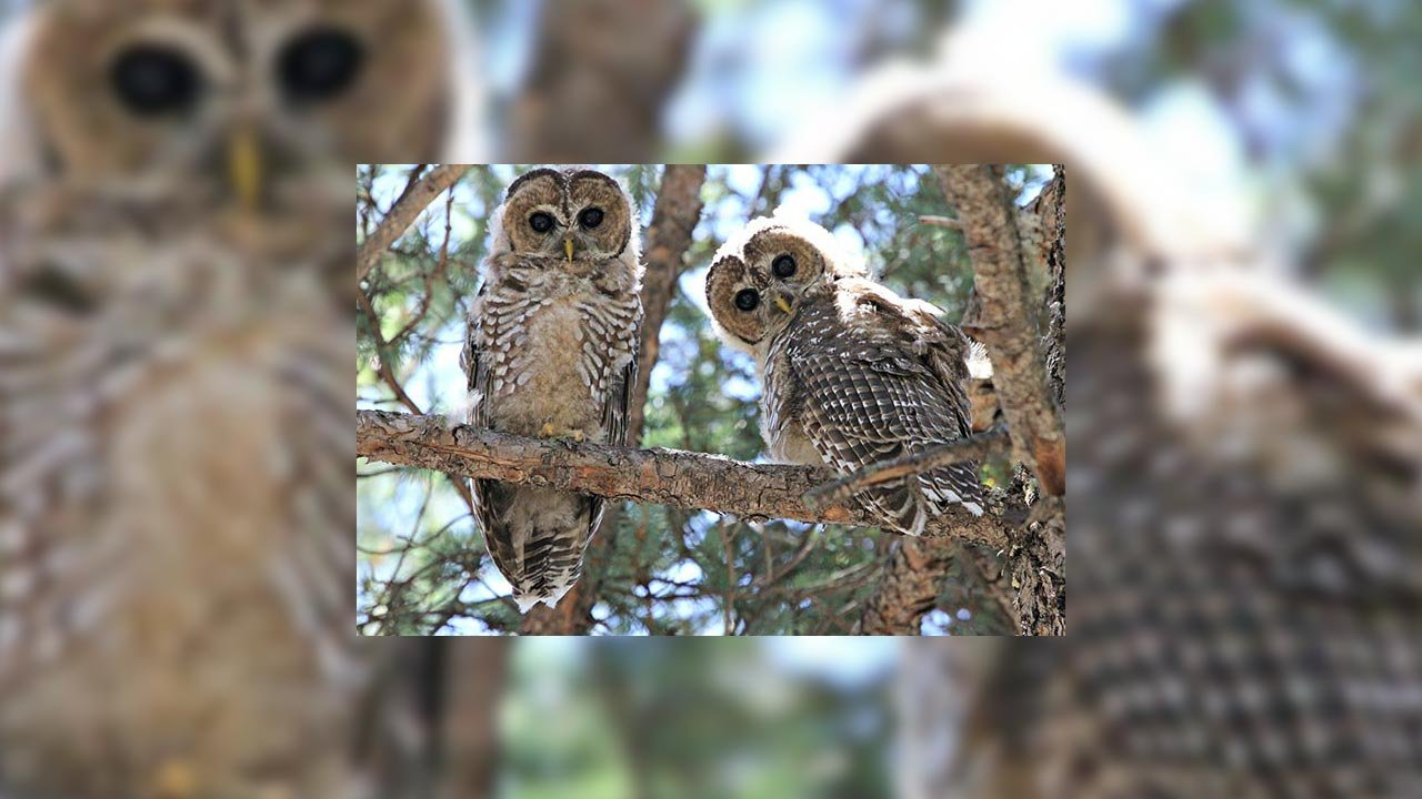 A pair of Mexican spotted owl fledglings (Source: National Park Service)