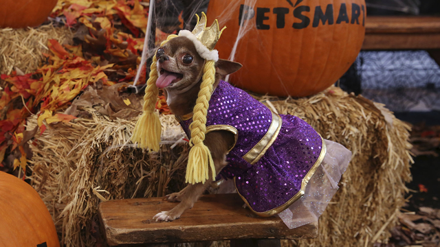 Instagram pet celebrity, @chloekardoggian (151k followers) poses at Petsmart's 2017 Fall/Halloween collection launch event in New York City. (Source: Amy Sussman/ AP Images for PetSmart)