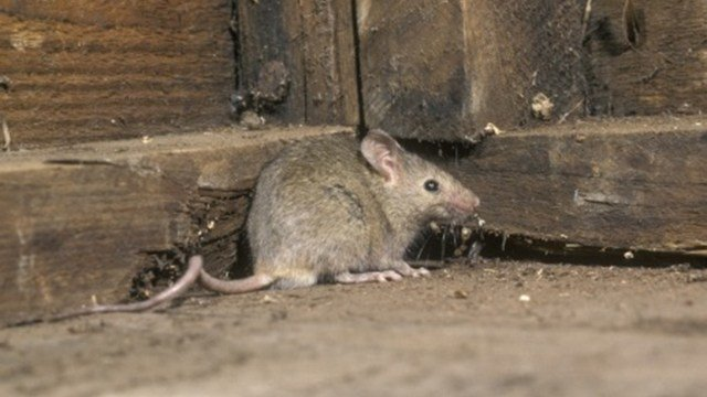 Mice are looking to get into homes now that temperatures are starting to cool off. (Source: mikelane45 / 123RF Stock Photo)