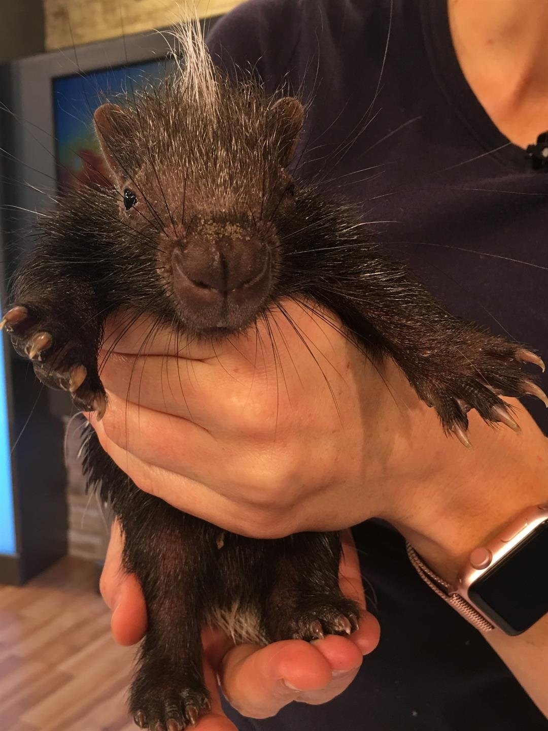 Prickly Pear a baby African Crested Porcupine visits GMAZ