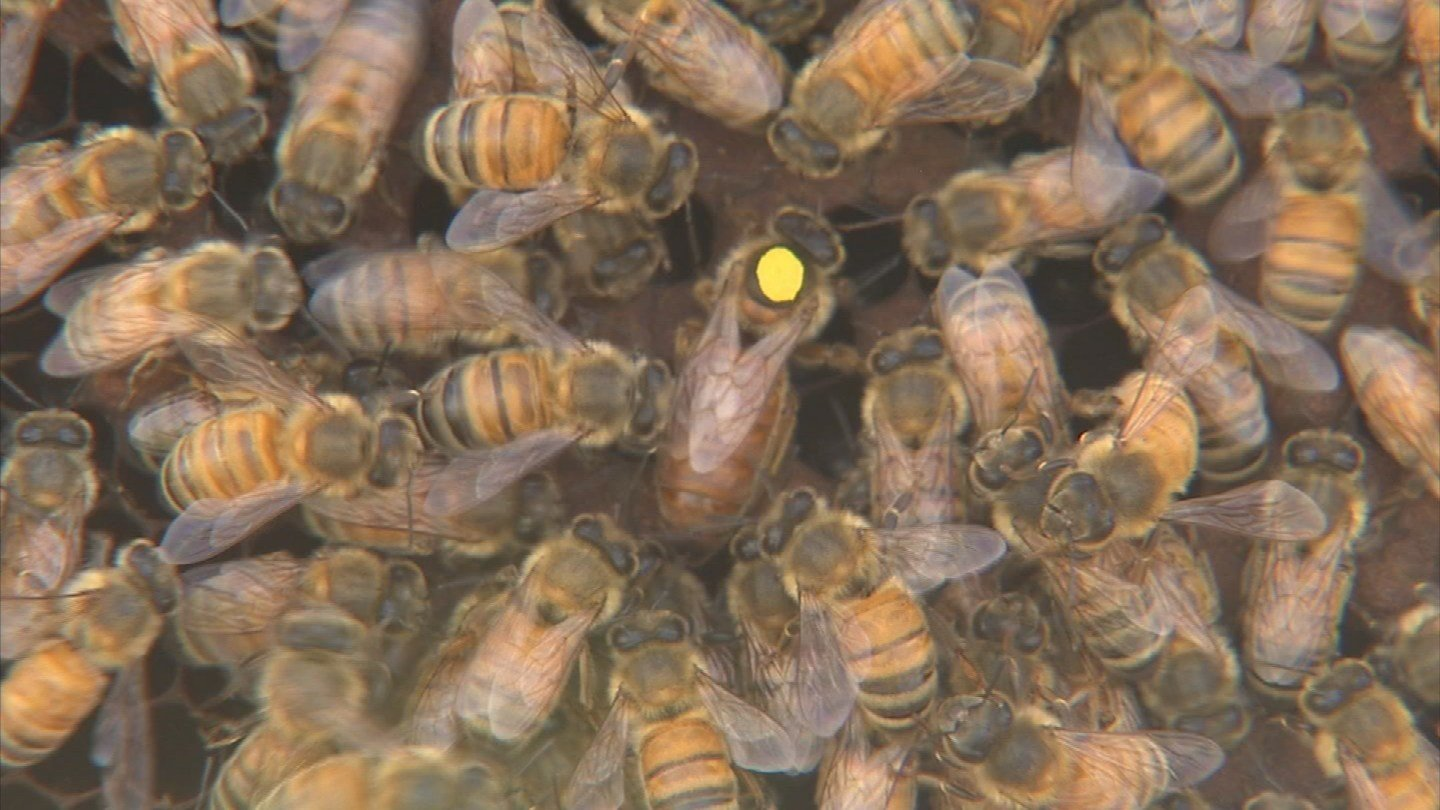 Arnold marks his queen bees with a bright color so they're easier to find. (Source: 3TV/CBS 5)