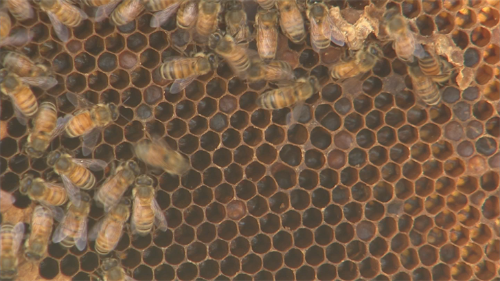 All of Arnold's hives were once the highly aggressive Africanized bees, removed from peoples sheds or yards and relocated somewhere safer. (Source: 3TV/CBS 5)