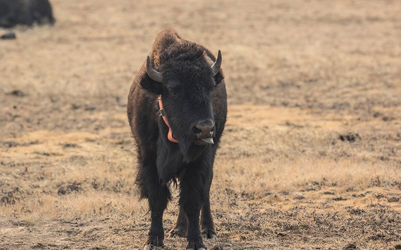Several bison near the North Rim of the Grand Canyon have been collared so a wildlife team can track them. (Photo by Kianna Gardner/Cronkite News)