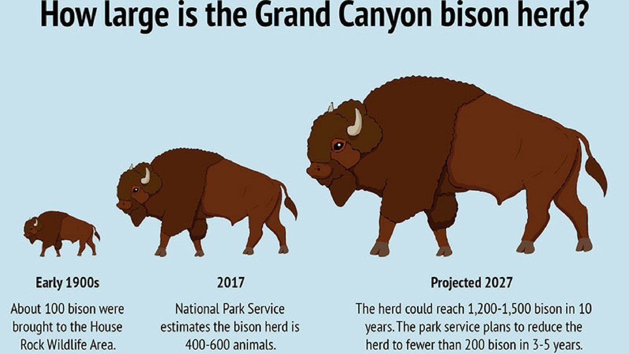 A growing bison herd brings growing environmental problems to the North Rim of the Grand Canyon, and the problem will only get worse if action is not taken to reduce the size of the herd, experts say. (Graphic by Moriah Hernandez/Cronkite News)