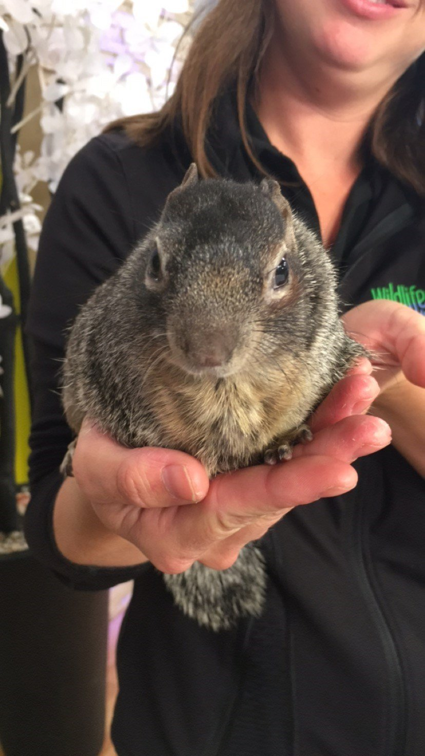 Rocky the Squirrel visits GMAZ.