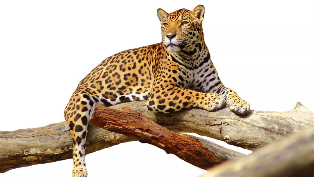 Copper mine could threaten the natural wildlife in the Santa Rita Mountains, including jaguars and ocelots. (Source: 123rf.com)