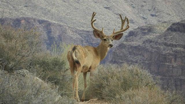 Generic mule deer buck. (Source: NPS.gov)