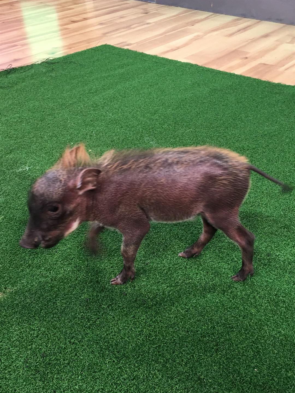 Waylon, a baby warthog visits GMAZ