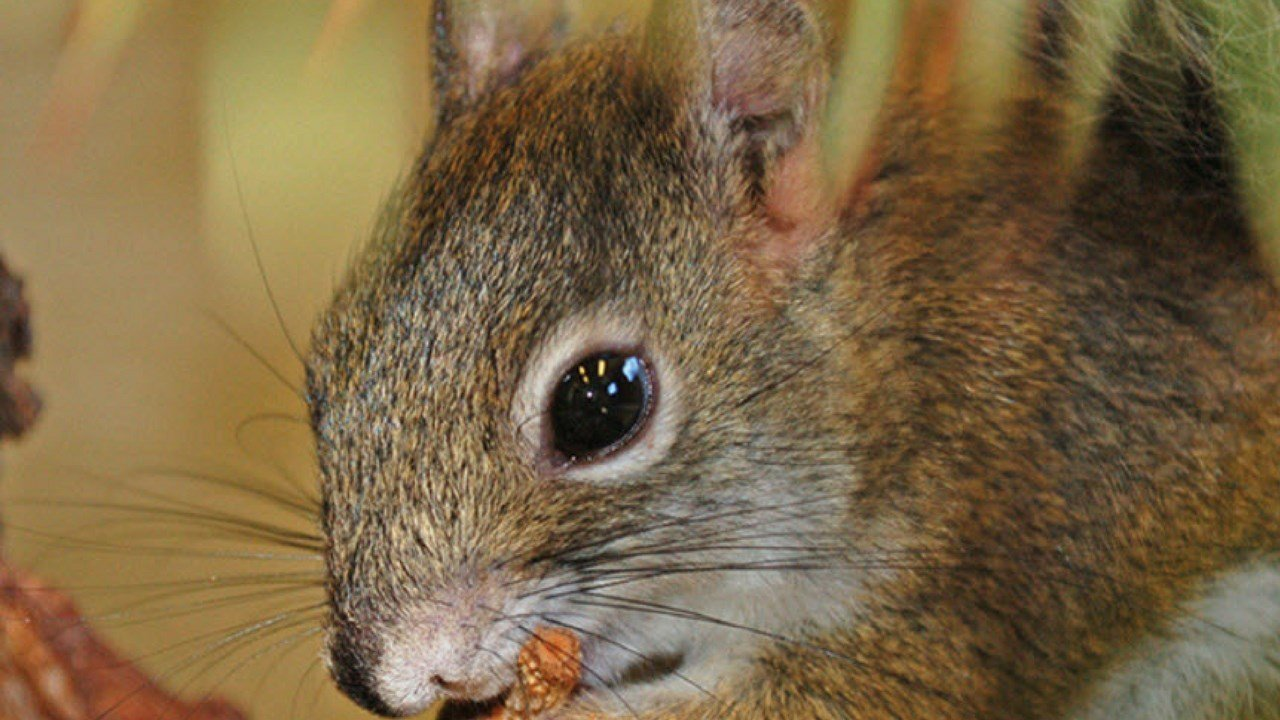 The Mount Graham red squirrel is an isolated sub-species of the North American red squirrel. Its smaller body and narrower head distinguishes it from the species.(Source: Phoenix Zoo)