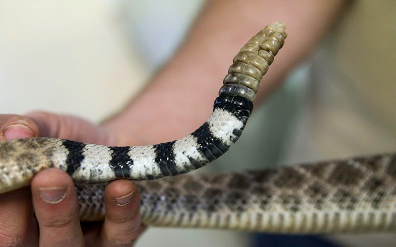 A rattlesnake tail is examined at the Phoenix Herpetological Society in Scottsdale. (Photo by Michelle Minahen/Cronkite News)