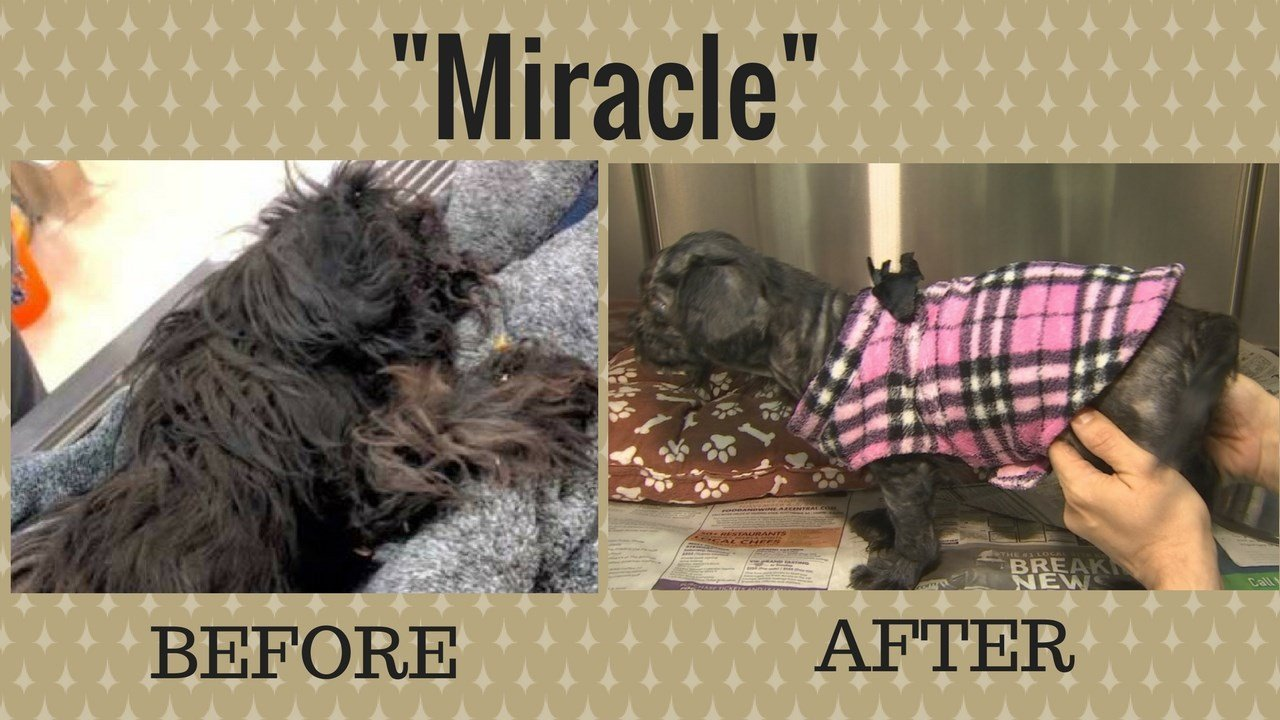 """""""Miracle""""- Before and after (Source: Maricopa County Animal Care and Control)"""