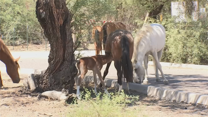 The next step is to work with a nonprofit on humanely managing the horses. (Source: 3TV/CBS 5)