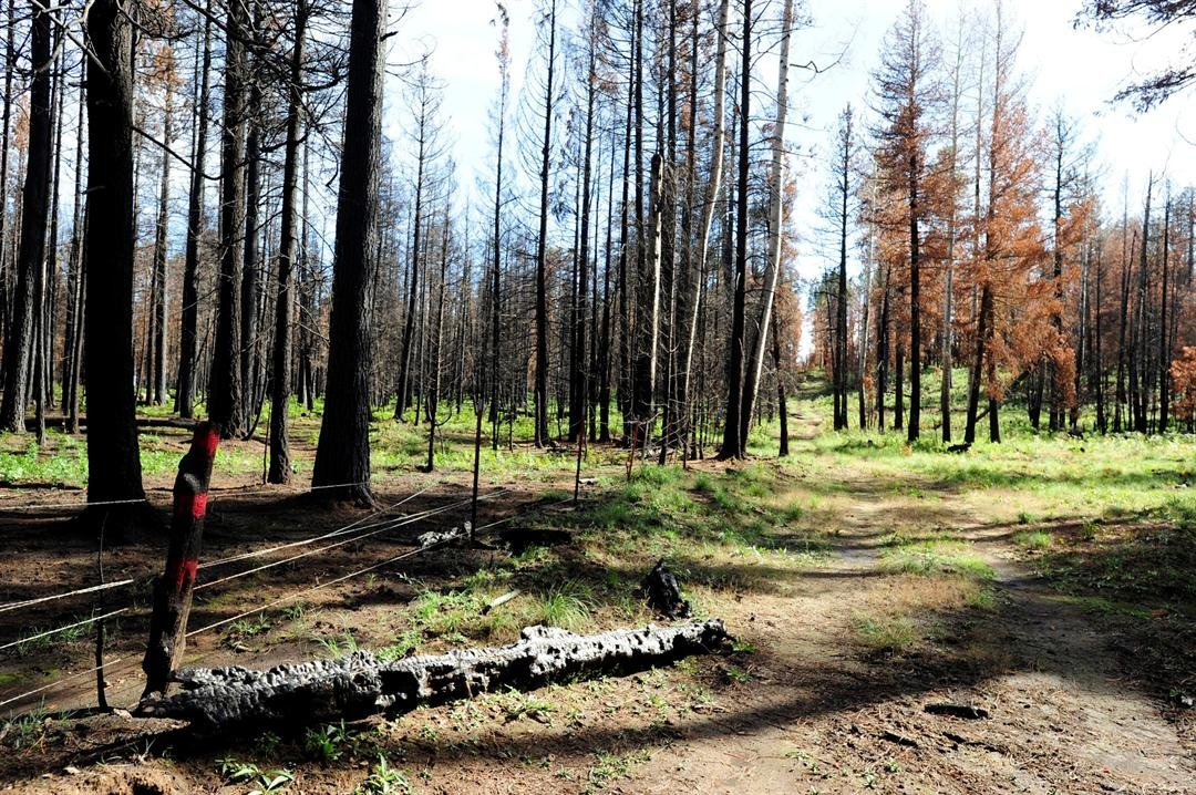 The benefits of forest thinning were seen in the wake of the 2011 Wallow Fire. Trees in the overgrown Apache-Sitgreaves National Forest, left, sustained severe damage,, while those on thinned reservation lands fared better. (Photo by Brandon Quester/CN)