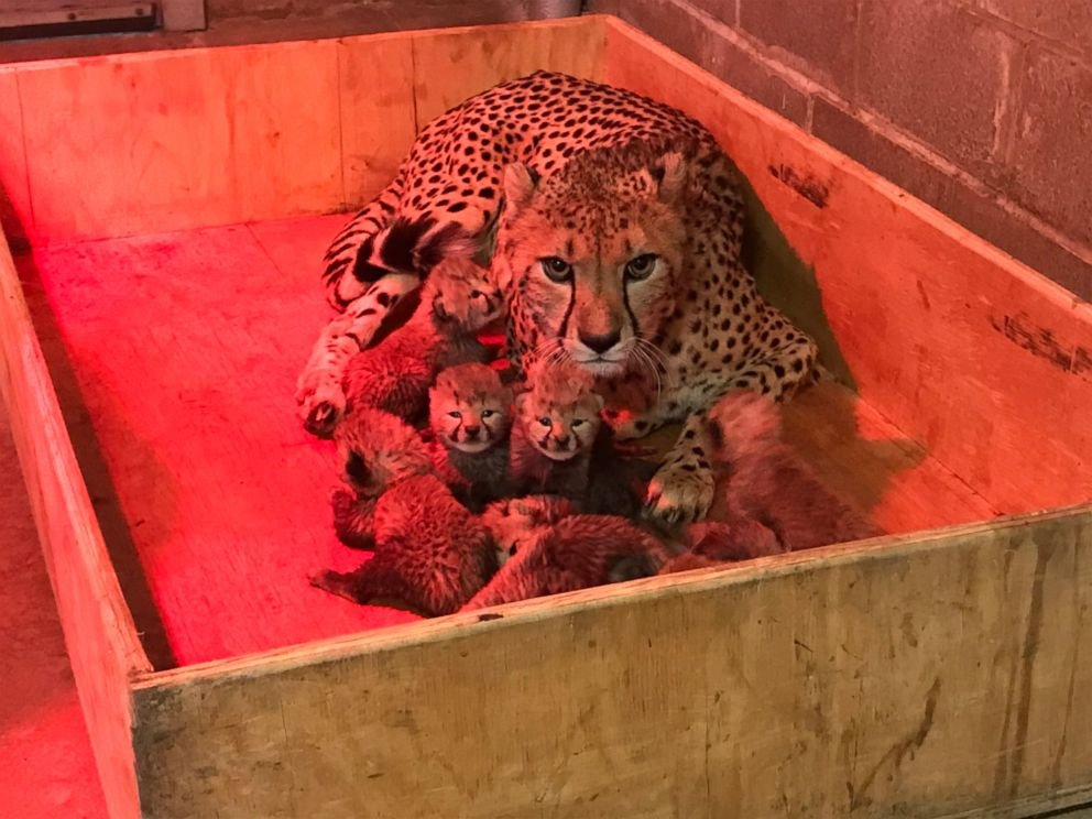 Mom looks quite protective of her large litter. (Source: St. Louis Zoo)