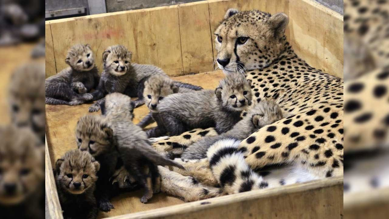 This Dec. 18, 2017, photo provided by the St. Louis Zoo shows Bingwa, a 4-year-old cheetah with her eight three-week-old cubs. Bingwa gave birth Nov. 26 but the births weren't announced until Jan. 3, 2018. (Source: Carolyn Kelly/St. Louis Zoo via AP)