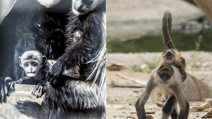 The Wildlife World Zoo, Aquarium & Safari Park welcomed the birth of two rare monkeys for the New Year. (Source: Wildlife World Zoo)