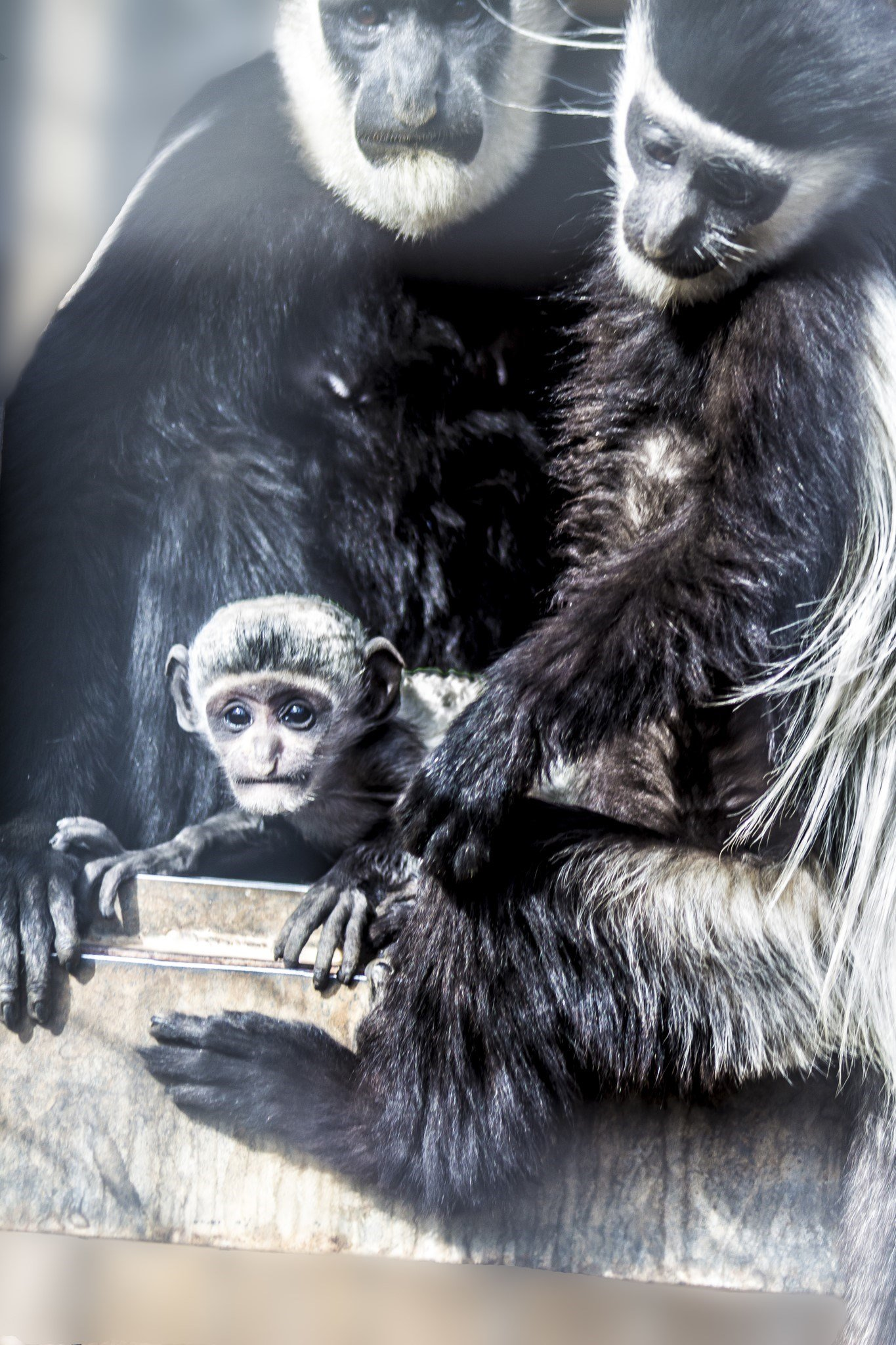The Colobus monkey born at the Wildlife World Zoo. (Source: Wildlife World Zoo