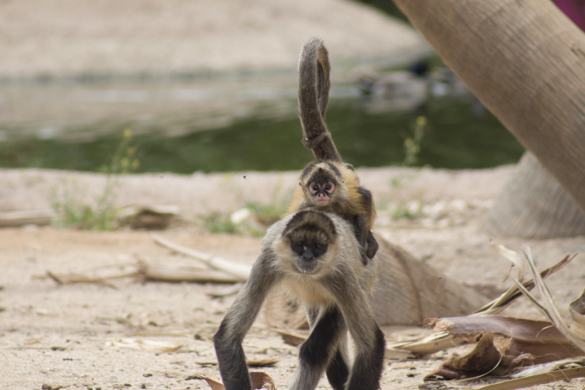 Baby Spider monkey born at Wildlife World Zoo. (Source: Wildlife World Zoo)