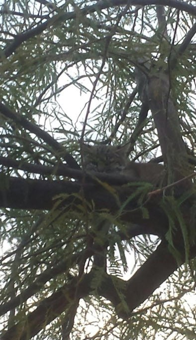 The second Bobcat was captured Tuesday morning after it was spotted in a tree. (Credit: Amy Burnett, AZ Game & Fish)