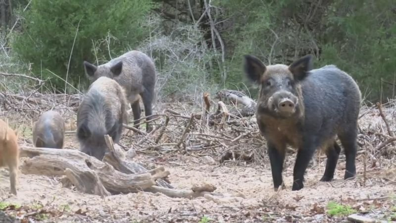 Specially-trained marksmen in helicopters will thin the refuge's troublesome wild pig population. (Source: 3TV/CBS 5)