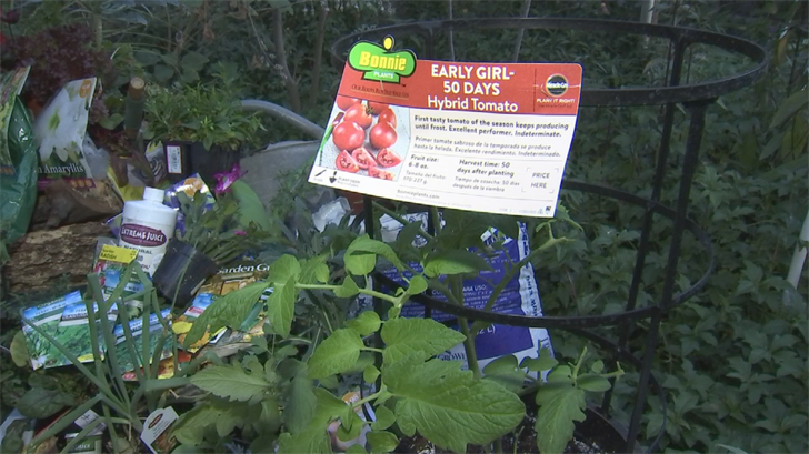 In Arizona, you need to buy short-season varieties of tomatoes. These will get you tomatoes in less than 60 to 70 days. (Source: 3TV/CBS 5)